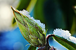 Snow lined rhododendron