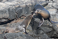 Galapagos sea lion (right) meets Galapagos fur seal.  Yup, they're two different species.