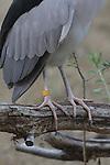 Black-crowned night heron legs
