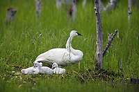 Trumpeter Swan with Cygnets, Copper River Delta, Cordova, Chugach National Forest, Alaska.