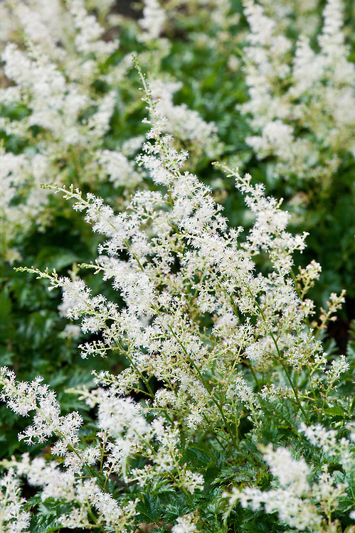 White Astilbe simplicifolia 'William Buchanan', early August. Sometimes known as simply Astilbe 'Willie Buchanan' or by its common name false goat's beard.