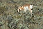 Pronghorn/Antelope in Teton National Park