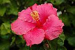 Hybiscus Flower