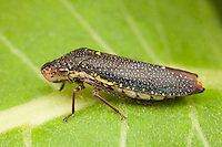 Speckled Sharpshooter (Paraulacizes irrorata) on a Milkweed plant leaf, Ward Pound Ridge Reservation, Cross River, Westchester County, New York