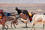 Donkeys of nomads carrying goods and a goat through stony desert, Sahara desert, Morocco.