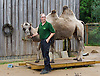 ZSL London Zoo Annual Weigh-in at London Zoo, Regent's Park, London, Great Britain <br /> 26th August 2015 <br /> <br /> a Camel being weighed <br /> <br /> <br /> Photograph by Elliott Franks <br /> Image licensed to Elliott Franks Photography Services