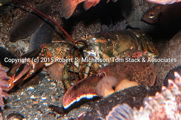 American lobster 45 degrees to camera.  This specimen weights about 20 pounds