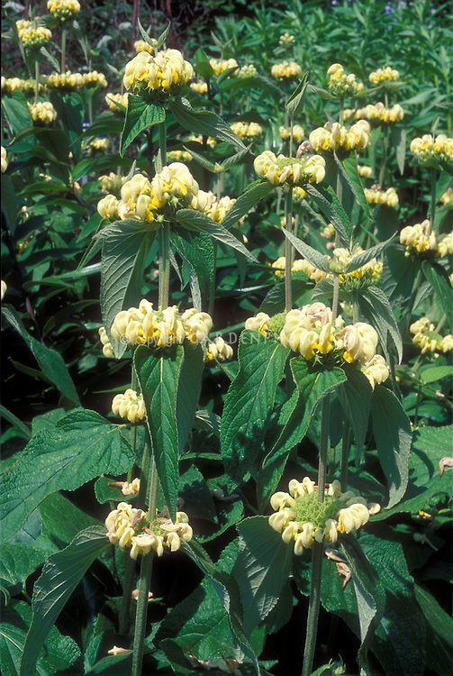 Yellow flowers of Jerusalem Sage perennial plant Phlomis russeliana
