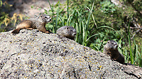 A family of marmots was hanging out near the road during my spring tour.