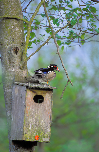 Wood Duck drake on nesting box. Spring. Burnaby Lake, British Columbia, Canada. (Aix sponsa)..