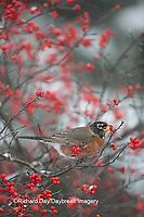 01382-05304 American Robin (Turdus migratorius) eating berry in Common Winterberry bush (Ilex verticillata) in winter, Marion Co. IL