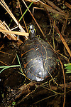 FL: Florida Everglades National Park, red belly turtle.Photo Copyright: Lee Foster, lee@fostertravel.com, www.fostertravel.com, (510) 549-2202.Image: flever202