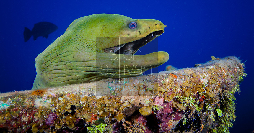 Green moray eel at sunken wreck on Roatan, Honduras.