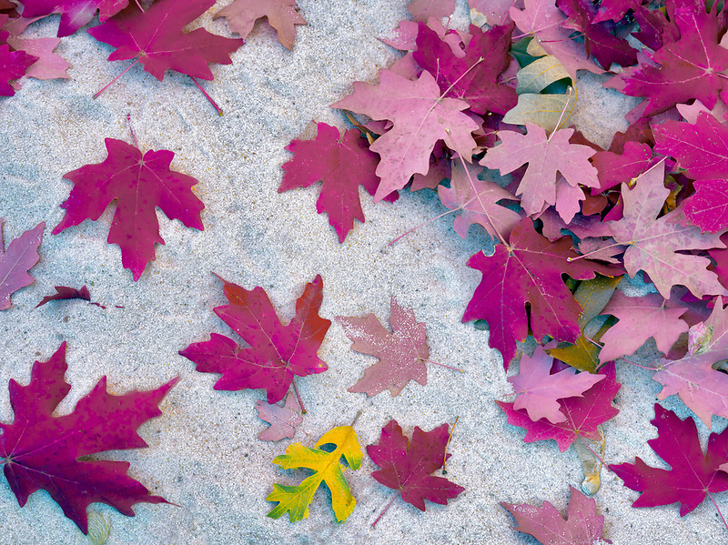 Close up of bigtooth maple leaves in fall color. Zion National Park, Utah