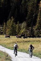 Un paesaggio nei pressi di Cogne, Parco Nazionale del Gran Paradiso, in Val d'Aosta.<br /> Scenic landscape with cyclists and grazing cattle around Cogne, at the Gran Paradiso National Park, Aosta Valley.<br /> UPDATE IMAGES PRESS/Riccardo De Luca