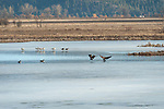 Canada geese landing in the wetlands with the trumpeter swans at Kootenai National Wildlife Refuge in early spring