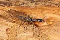 Kamelhalsfliege, Gefleckte Kamelhalsfliege, Phaeostigma notata, Rhaphidia notata, snakefly, Kamelhalsfliegen, Raphidiidae, Raphidioptera, snakeflies, snake flies