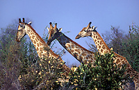 The SOUTHERN GIRAFFE (Giraffa Camelopardalis) has lighter spots than its northern relative - SAVUTI MARSH, Botswana
