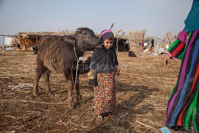 15/12/2015-Chbaish,Iraq- A buffalo's calf touching Zainab's ear.