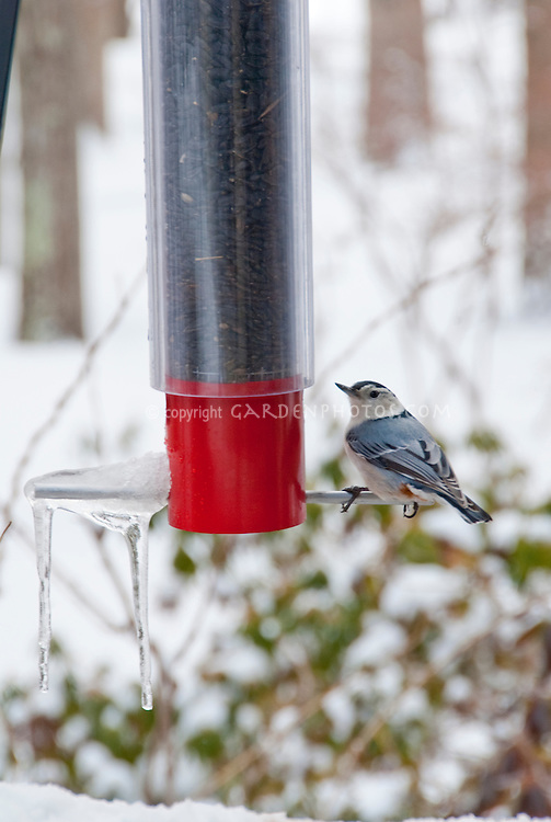 Nuthatch at bird feeder in winter, with snow and ice