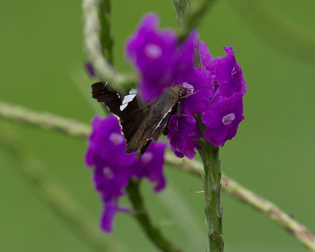 A dark brown skipper with white bands clearly apparent with wings partially spread on a bright magenta flower on a long green stalk.