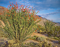 Anza-Borrego Desert State Park, CA: Clearing sky over Colorado Desert and blooming Occotillo (Fouqueris spendens) in Coyote Canyon