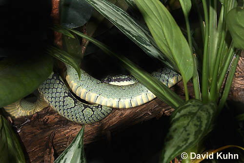 0501-1101  Green Pit Viper (Sri Lankan Tree Viper), Trimeresurus trigonocephalus  © David Kuhn/Dwight Kuhn Photography