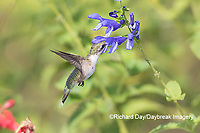 01162-15117 Ruby-throated Hummingbird (Archilochus colubris) at Blue Ensign Salvia (Salvia guaranitica ' Blue Ensign') in Marion County, IL