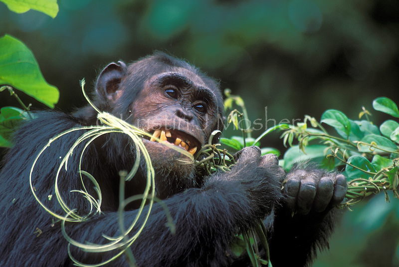 Gimble strips a vine eating the pith and cambium. (vine-Oncinotis tenuifolia).Male eastern chimpanzee (Pan troglodytes schweinfurthi).Gombe National Park, Tanzania , 2001.(Highly Commended, Wildlife Photographer of the Year 2003)