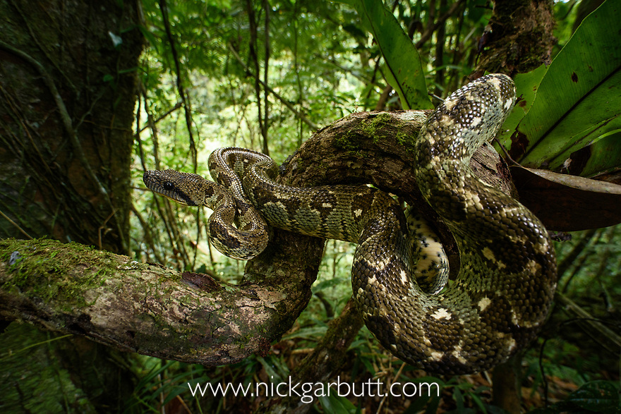Madagascar Tree Boa (Sanzinia madagascariensis) coiled in forest understorey. Montane rainforest, Marojejy National Park, north east Madagascar.