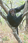 Wilki, a former alpha male of the Kasakela chimpanzee community.  Gombe National Park, Tanzania.