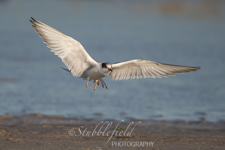 Common Tern (Sterna hirundo hirundo), Common subspecies, juvenile landing on the beach at Nickerson Beach Park in Lido, New York.