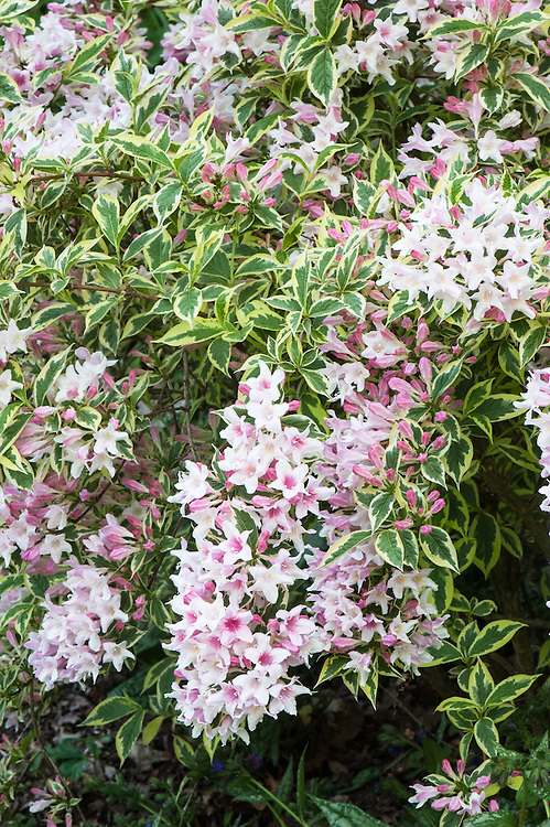 Weigela 'Florida Variegata' (syn. Weigela florida 'Variegata'), late May. A deciduous shrub with narrowly ovate, mid-green leaves edged with creamy-white, and clusters of funnel-shaped, light pink flowers.