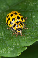 Zweiundzwanzigpunkt-Marienkäfer, Zweiundzwanzigpunkt, Zweiundzwanzigpunktmarienkäfer, Pilz-Marienkäfer, Marienkäfer, 22-Punkt-Marienkäfer, 22-Punkt, Psyllobora vigintiduopunctata, syn. Thea vigintiduopunctata, Psyllobora 22-punctata, syn. Thea 22-punctata, 22-spot ladybird, Twenty two-spot ladybird