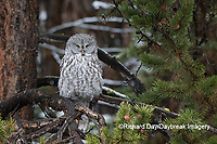 01128-00120 Great Gray Owl (Strix nebulosa) Yellowstone National Park, WY