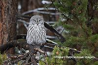 01128-00120 Great Gray Owl (Strix nebulosa) Yellowstone National Park, WY
