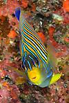 Regal angelfish, Pygoplites diacanthus, Fiji.