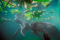 Amazonian manatees, Trichechus inunguis, showing white ventral patterns typical of this species of sea cow, INPA/LMA, Brazil ( c )