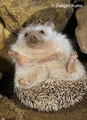 MA42-050z   African Pygmy Hedgehog - Atelerix albiventris