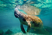 Florida manatee, Trichechus manatus latirostris, a subspecies of West Indian manatee, breathing, Three Sisters Springs, Crystal River, Florida, USA