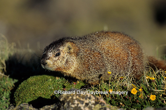 02004-00116 Yellow-bellied marmot (Marmota flaviventris) Rocky Mtn Nat'l Pk   CO