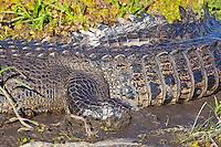 Estuarine Crocodile closeup tail, Yellow Water, Kakadu NP, NT, Australia