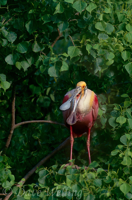 579008594c a wild adult roseate spoonbill ajaia ajaia in breeding plumage with its beak open perches in a tall tree n a rookery in southeast texas