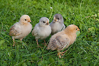 Hühnerküken, Küken im Garten, Zwerghuhn, Zwerghühner, glückliche Hühner, freilaufende Hühner, artgerechte Tierhaltung, Landidylle, Idylle