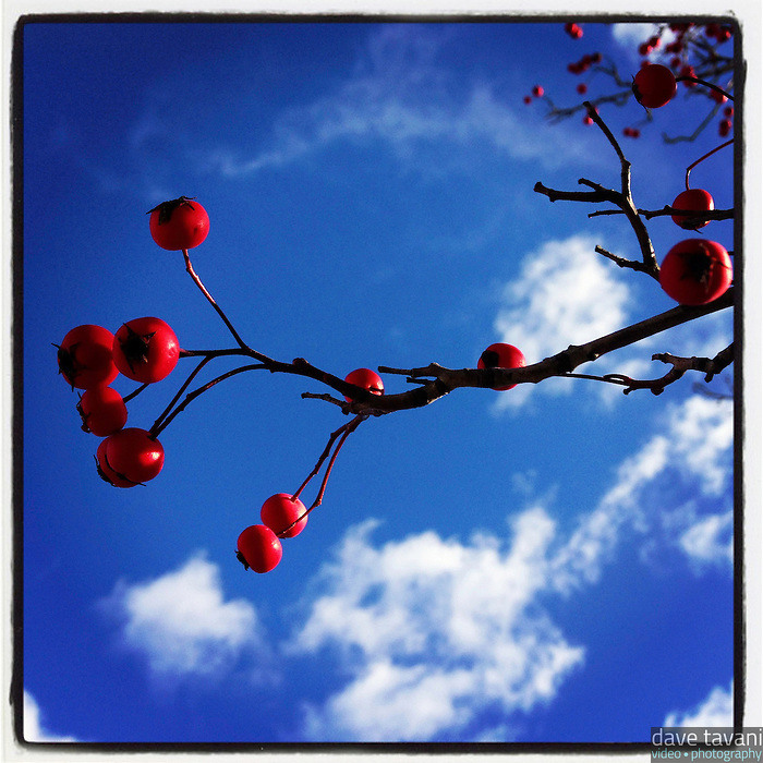 Sun falls on a winter berry tree under a blue sky in the 6300 block of Germantown Avenue November 24, 2012.