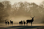 A herd of Sika and native Red deer graze peacefully on the lush pastures of Killarney Golf Club during early morning winter sunshine..Picture by Don MacMonagle