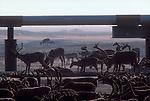 Alaska, Prudhoe Bay, Caribou graze beneath the Prudhoe Bay Oilfield pipeline, 1978, North Slope, Alaska, USA