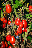 Ripe tomato plants in garden.