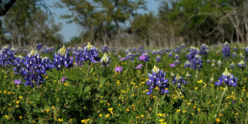 Spring mix of Bluebonnets, Verbena, and yellow Texas Stars.