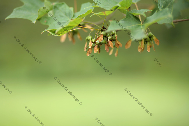 Stock Photo of Maple Seeds that are Still on the Tree Branch